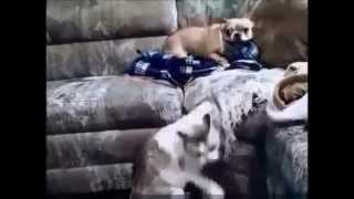 Кошки гоняют собак  Полный ржачь