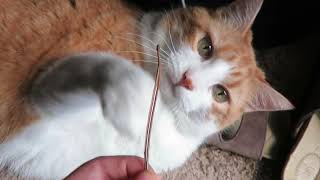 Cat Plays With A Twig