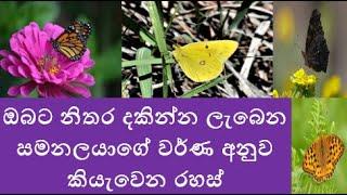 ඔබට නිතර දකින්න ලැබෙන සමනලයාගේ වර්ණ අනුව කියැවෙන රහස් - Secrets of colours of Butterflies