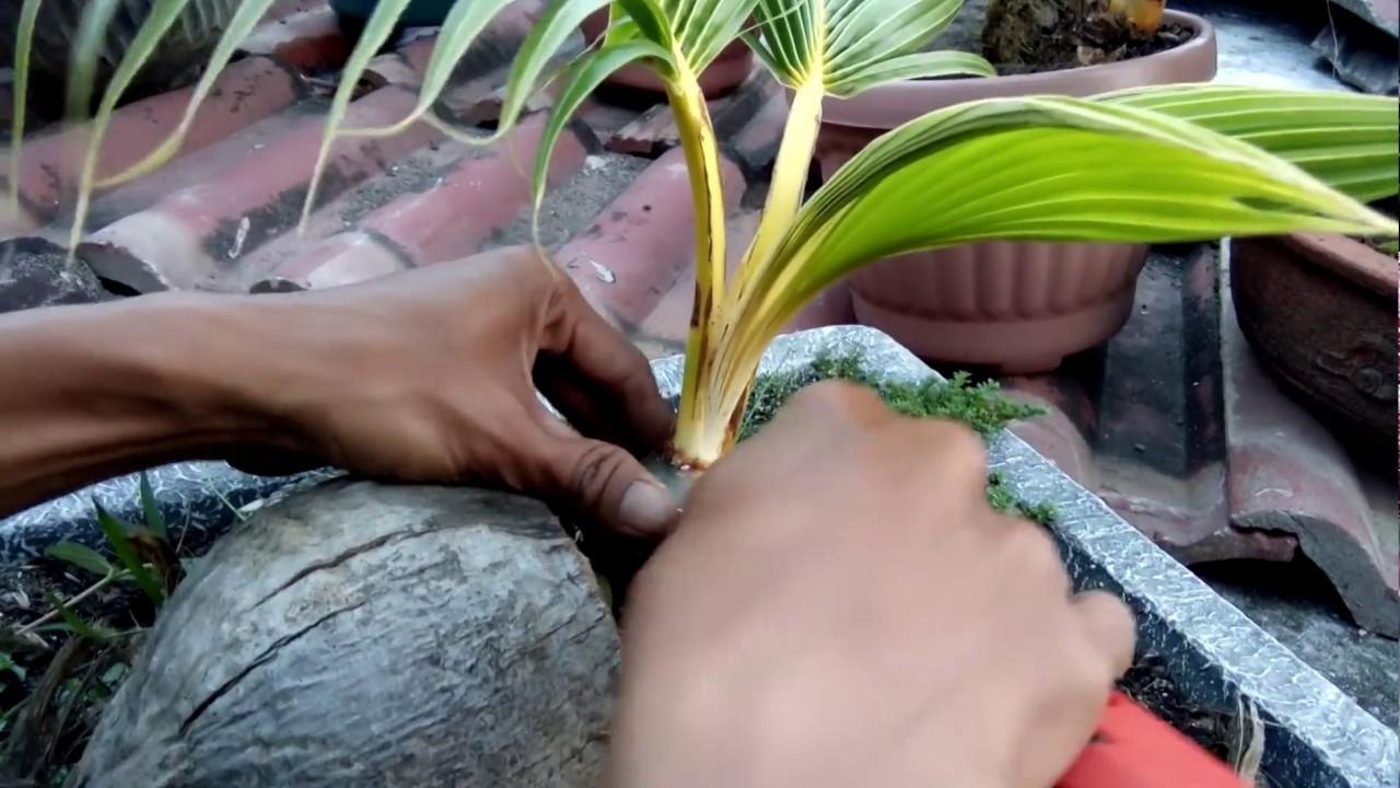 Perawatan Bonsai Kelapa Yang Mulai Pecah Daun Dengan Potong Dan