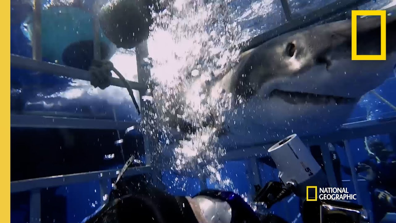 Why Sharks Attack Cage Divers | Shark Attack Files