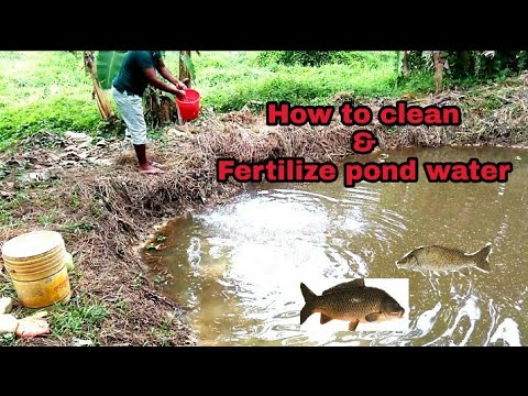 #Method To Purify Pond (fishery) Water With Fish In It | India #clean And Fertilizer Pond Water |