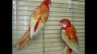 топ 10 пород попугаев