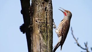 Video Woodpecker Pecking and Calling : Northern Flicker, Red-shafted Flicker download MP3, 3GP, MP4, WEBM, AVI, FLV Oktober 2018