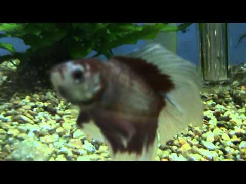 Double Tail Betta Fighting Fish For Sale At Tyne Valley Aquatics