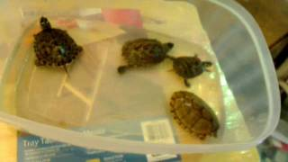 Before you buy a turtle watch this video!(Some information about turtles! What you should know before you get a pet turtle! Topics include turtle size, cage size, and other aspects of turtle care., 2010-08-07T22:00:02.000Z)