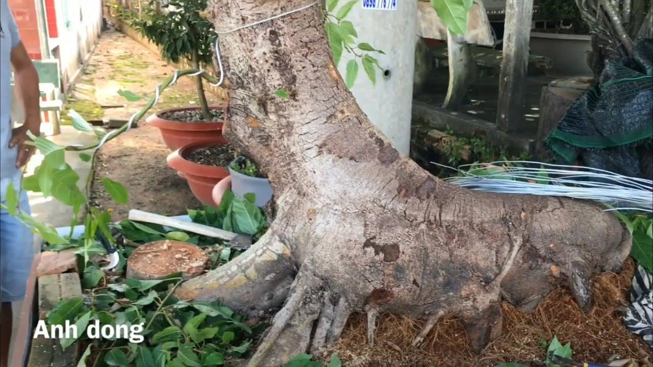 Uốn định hình cho cây sung
