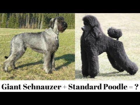 The Giant Schnoodle
