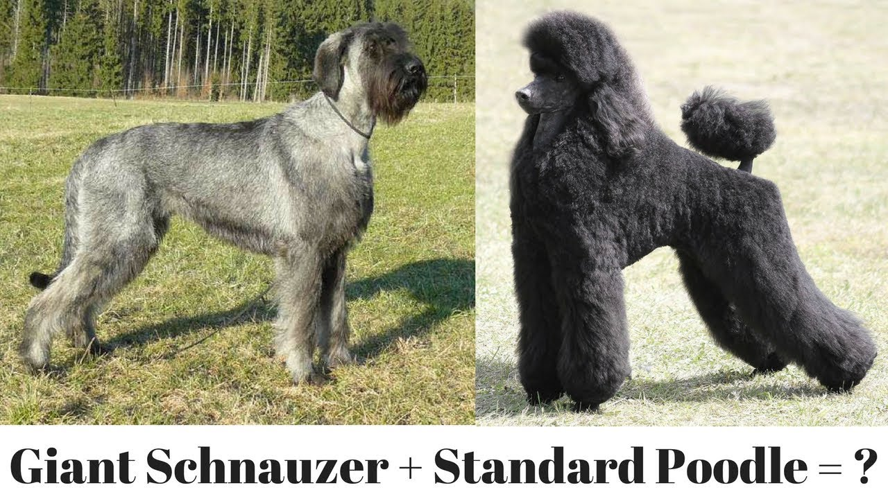 The Giant Schnoodle Youtube