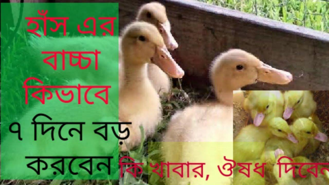 Download হাঁস এর বাচ্চার তাড়াতাড়ি বড় করবেন কিভাবে   | has palon |has palon in bangladesh| haser khamar |