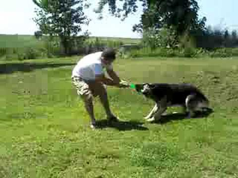 Huge, heavy boned, black and silver German Shepherd.