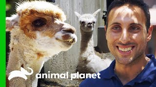 A Baby Alpaca is Born! | The Zoo: From The Inside