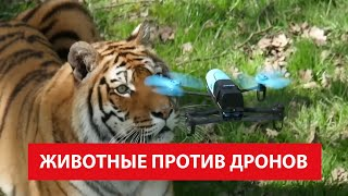 Животные Против Дронов - Как Звери Реагируют на Квадрокоптер