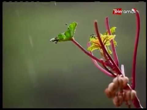 Florecimiento de los guayacanes un espectáculo natural