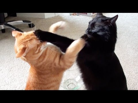 Thumbnail: EPIC Cat Fight Compilation!