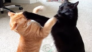 EPIC Cat Fight Compilation! thumbnail