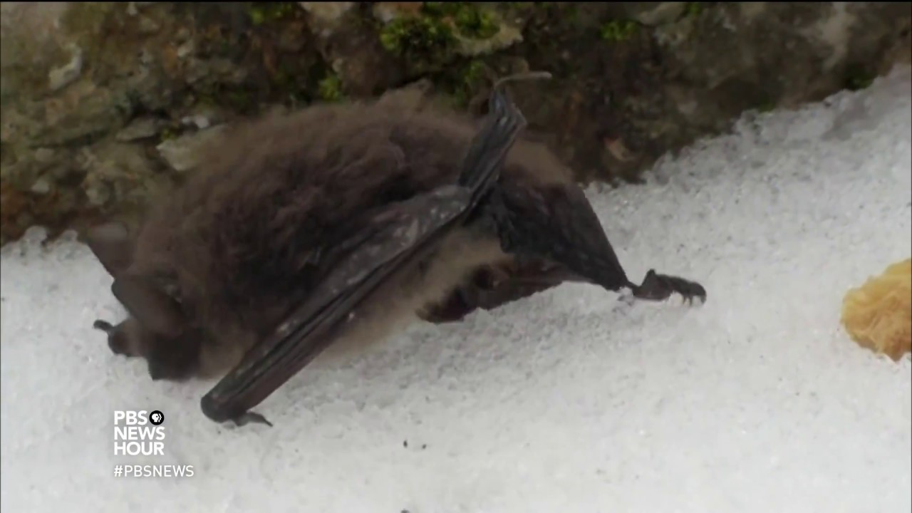 deadly epidemic spurs research into the lives of bats youtube