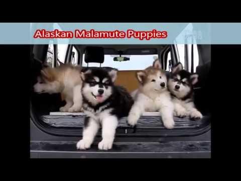 Alaskan Malamute Puppies - Cuccioli di Alaskan Malamute