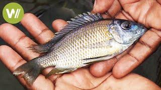Buntbarsche - Die Zierfische des Malawisees (Tierdokumentation in HD)