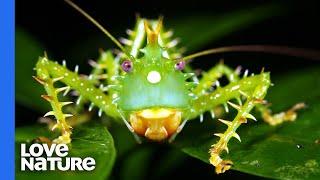 Savage Katydid Lures Male Cicada with Fake Mating Call
