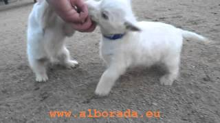 Cachorros westie Alborada nacidos 22-09-2011