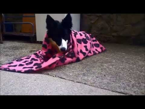 teach your dog to roll in blanket - night night