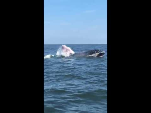 Whale splashes in the ocean off Manasquan shore