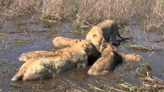 Savage Lion Kills and Eat Alive Buffalo and Calf