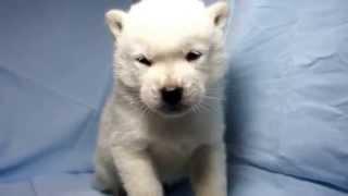 関西・中部の紀州犬子犬販売 http://www.moo-pon.com/kisyu 三重県を中...