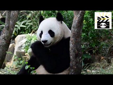 Jia Jia the panda bear eating bamboo: what else would a panda eat?