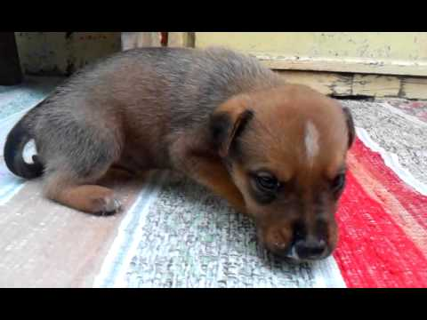 Pitbull German Shepherd Mix Puppy Called Buster Youtube