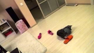 Кот в тапках в засаде 2 (русская голубая кошка в игре) (russian blue cat in game)