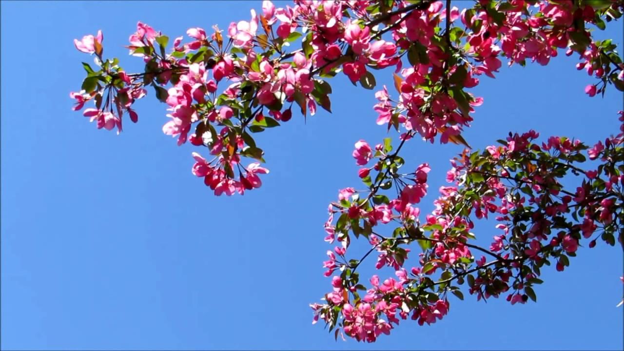 My beautiful pink flowering crab apple trees are in full bloom my beautiful pink flowering crab apple trees are in full bloom mightylinksfo