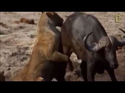 "► Lions Documentary - ""LIONESS BITES THE BUFFALO´S BALLS"" (+18) 