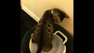 Java (Bengal boy) using potty