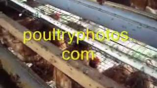 FLY CONTROL, Flies Problem on Poultry chickens Farm hens house