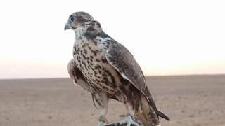 موسم صيد الصقور يبدأ في شمال السعودية
