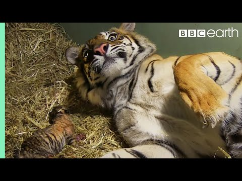Thumbnail: Birth of Twin Tiger Cubs - Tigers About The House - BBC