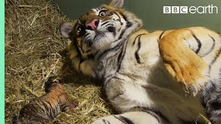 Repeat youtube video Birth of Twin Tiger Cubs - Tigers About The House - BBC