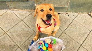 #71.Лабрадор.Сауна для собак.Гамак для собаки в машину.Собачьи радости в Америке.