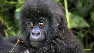 The Mountain Gorillas of Rwanda, Africa: Video