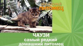 Одна из самых дорогих кошек в мире - ЧАУЗИ