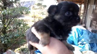 http://life-with-dog.net/puppy/chihuahua/ ライフウィズドッグのチワ...
