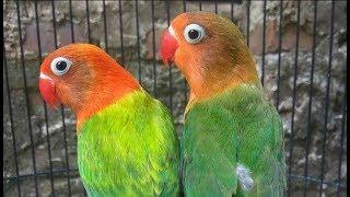 Download lagu Auto birahi lovebird anda pancing dengan suara ini MP3