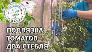 Как подвязать томаты с двумя стеблями. Подвязка помидоров.(Это видео о том, как следует подвязывать томаты детерминантных сотртов (у растения два основных стебля),..., 2014-05-28T06:49:27.000Z)