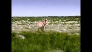 Сайгаки   чудо степей Евразии