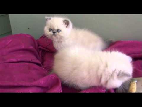 Himalayan shorthair kittens