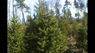 Hogans U-Cut Christmas tree farm