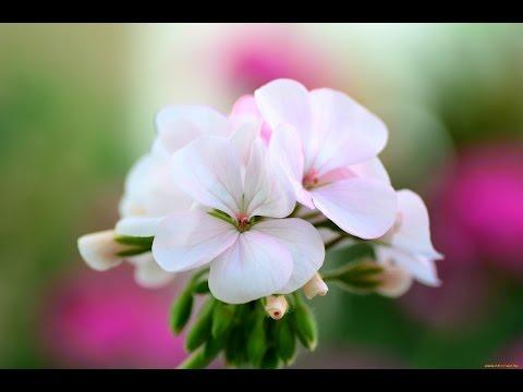 Энциклопедия комнатных растений: комнатные цветы, домашние