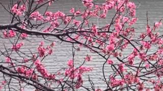 作曲 藤原 秀行 雨のアカシアの写真が無いので、雨の梅の花を背景にしま...